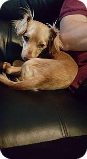 Dachshund/Papillon Mix Dog for adoption in Tracy, California - Jasper