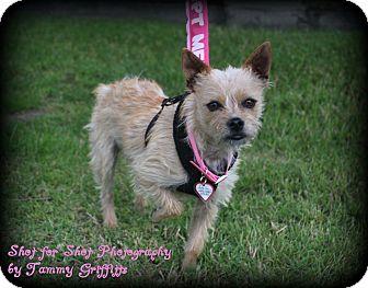 Cairn Terrier/Shih Tzu Mix Dog for adoption in Lodi, California - Frenchie