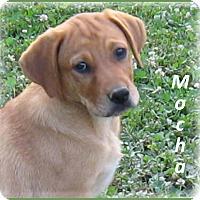 Adopt A Pet :: Mocha - Marlborough, MA