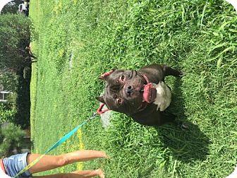 American Staffordshire Terrier/American Bulldog Mix Dog for adoption in Mooresville, North Carolina - Molly