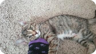 Domestic Shorthair Kitten for adoption in Cedar Springs, Michigan - Gypsy