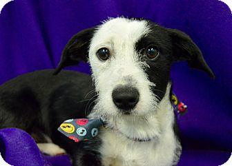 Jack Russell Terrier/Corgi Mix Puppy for adoption in Irvine, California - Austin