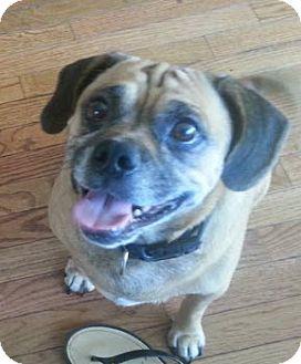 Pug/Beagle Mix Dog for adoption in Aurora, Ohio - Sugar