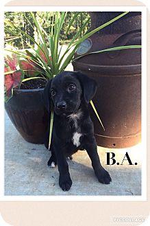 Labrador Retriever/Shepherd (Unknown Type) Mix Puppy for adoption in Cleveland, Oklahoma - B.A.