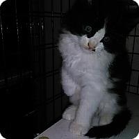 Adopt A Pet :: PUFFIN - Elk Grove, CA