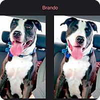 Adopt A Pet :: Brando - La Habra, CA
