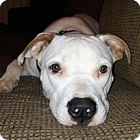 Adopt A Pet :: Ghost - Bruce Township, MI
