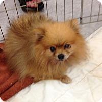 Adopt A Pet :: Simba - Inverness, FL