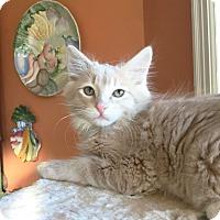 Adopt A Pet :: Elvis - Arlington/Ft Worth, TX