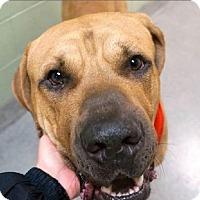 Adopt A Pet :: Brock Mastiff 100+lbs - NYC, NY