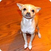 Adopt A Pet :: Bella Chi - Staten Island, NY