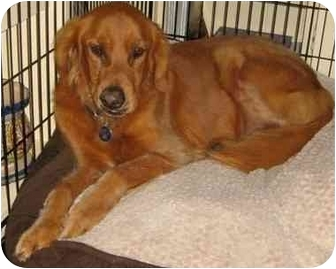 Golden Retriever Dog for adoption in Phoenix, Arizona - Jackson