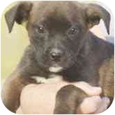 Boxer/Labrador Retriever Mix Puppy for adoption in Foster, Rhode Island - America