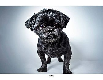 Shih Tzu Mix Dog for adoption in New York, New York - Domino