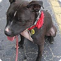 Adopt A Pet :: Missy - Cincinnati, OH