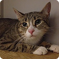 Domestic Shorthair Cat for adoption in New York, New York - Topsy