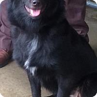 Adopt A Pet :: SASHA - Cadiz, OH