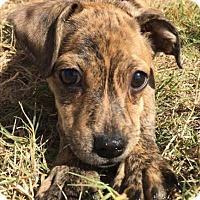 Adopt A Pet :: Rosie - Brattleboro, VT