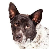 Adopt A Pet :: Duke - Tempe, AZ
