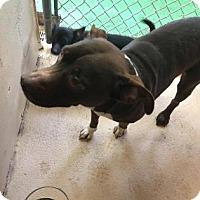 Adopt A Pet :: Luna Lovegood - Bradenton, FL