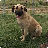Adopt A Pet :: Stella - Woodward, OK