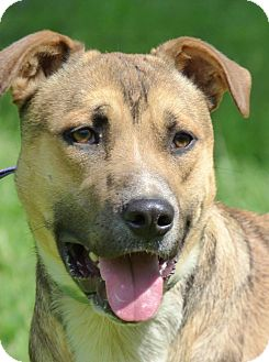 Shepherd (Unknown Type) Mix Dog for adoption in Centerville, Tennessee - Roscoe