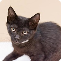 Adopt A Pet :: Henry (Petco- Indian Bend) - Scottsdale, AZ