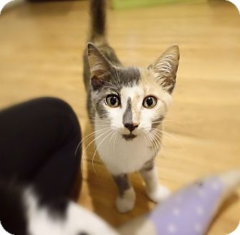 Domestic Shorthair Kitten for adoption in Tampa, Florida - Penelope