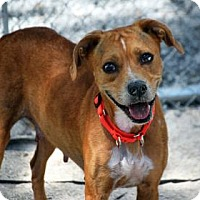 Adopt A Pet :: Pistol Annie - Bradenton, FL