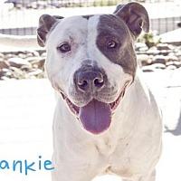 Pit Bull Terrier Dog for adoption in Sacramento, California - *FRANKIE