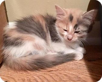Domestic Longhair Kitten for adoption in Sterling Heights, Michigan - Priscilla