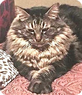Maine Coon Cat for adoption in Davis, California - Sir Robbie, the Magnificent
