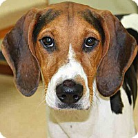 Adopt A Pet :: Bailey - Hinsdale, IL