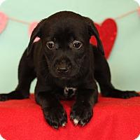 Adopt A Pet :: Diamond - Waldorf, MD