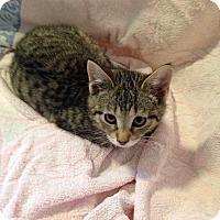 Adopt A Pet :: Sassy - Berlin, CT