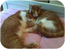Domestic Shorthair Cat for adoption in Delmont, Pennsylvania - Tiger & Sergio