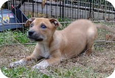 Boxer/Terrier (Unknown Type, Medium) Mix Puppy for adoption in Allentown, Pennsylvania - Frankie the Fish ($50 off)