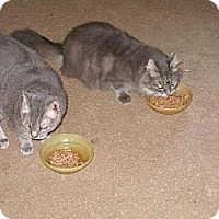 Domestic Shorthair Cat for adoption in Trexlertown, Pennsylvania - Cloe