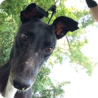Greyhound Dog for adoption in Swanzey, New Hampshire - Tony