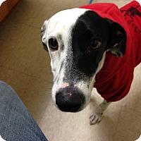Adopt A Pet :: Zsa Zsa GaDog - Greenville, SC