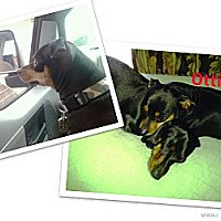 Adopt A Pet :: OTTIE - Ridgewood, NY
