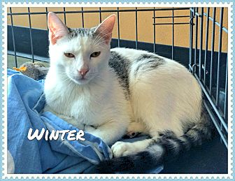 Domestic Shorthair Cat for adoption in Arcadia, California - Winter