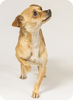 Chihuahua Mix Dog for adoption in Yelm, Washington - Timmy