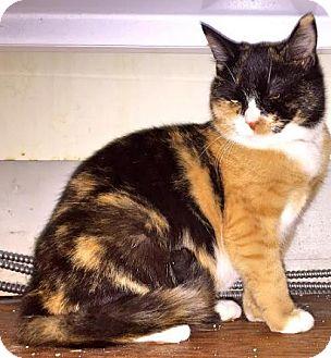 Calico Cat for adoption in Harrisonburg, Virginia - Kaitlyn