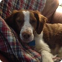 Adopt A Pet :: MI/Gidget - Appleton, WI