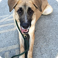 Anatolian Shepherd Mix Dog for adoption in Los Angeles, California - GEORGIA MAE