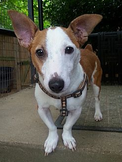 Jack Russell Terrier Dog for adoption in Silver Spring, Maryland - Rocky