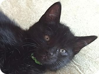 Domestic Shorthair Kitten for adoption in Colorado Springs, Colorado - Galt