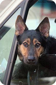 German Shepherd Dog Dog for adoption in Mead, Washington - Souther