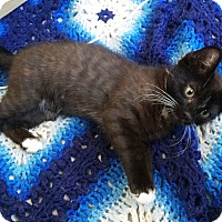 Domestic Shorthair Kitten for adoption in Riverside, California - Matilda
